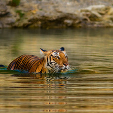 Tigres, Palacios y Taj Mahal