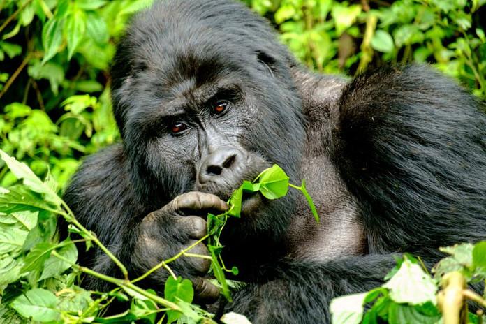 Gorila Trekking en Uganda y Ruanda