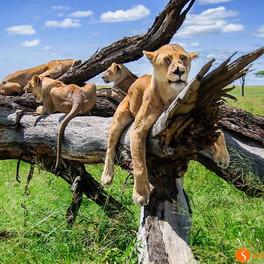 Classic Safari Nyota