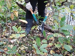 Cutting buckthorn_edited.png