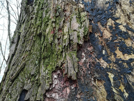 Hoe ouder hoe beter; de kracht van monumentale bomen