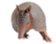 Armadillo front.png