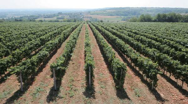 Radovanovic-vineyards