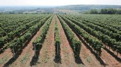 Radovanovic-vineyards