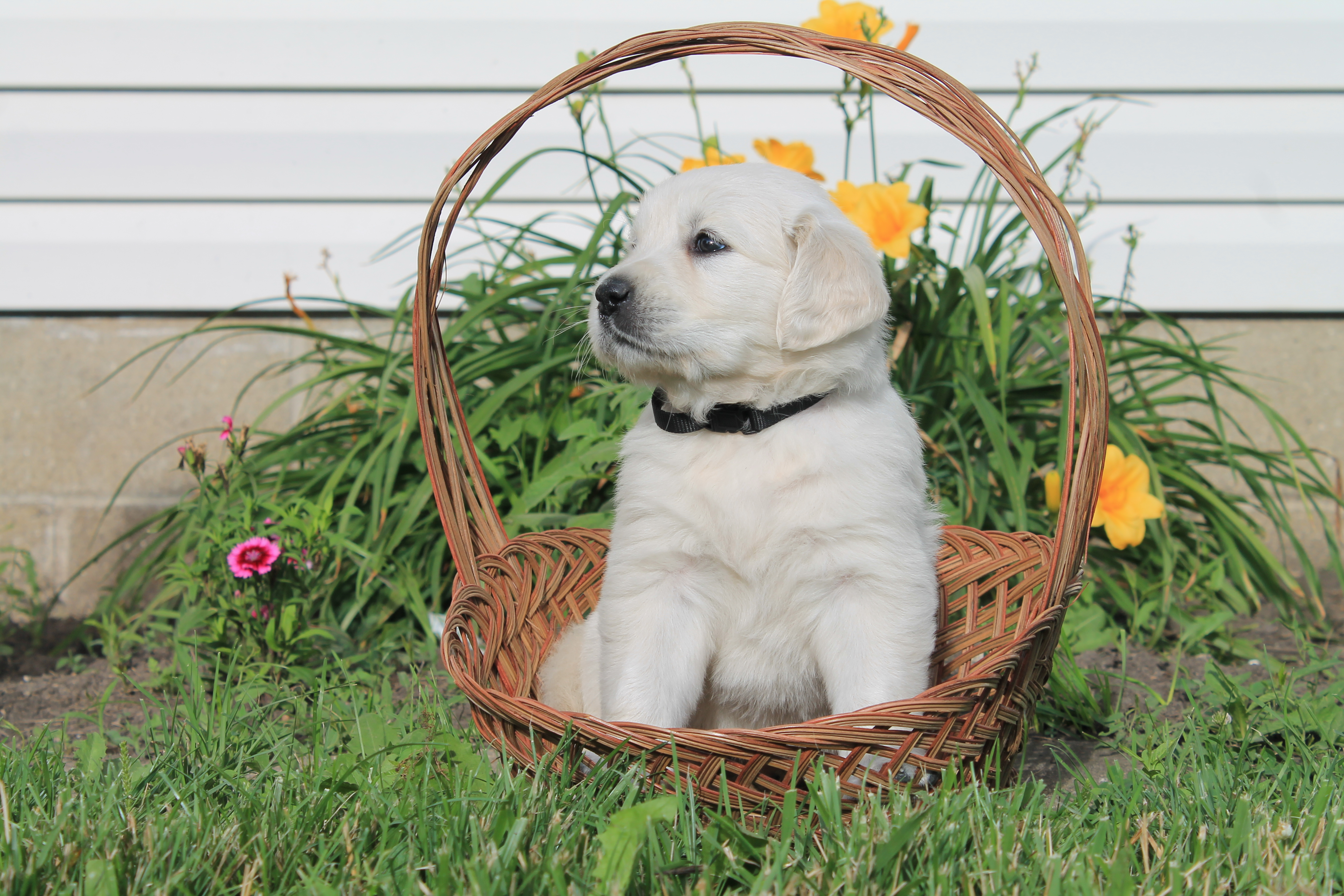 Puppies For Sale In Illinois | Golden Retrievers