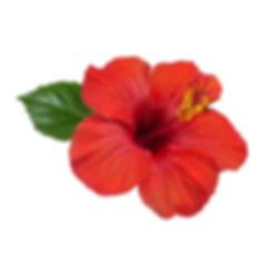 Hibiscus_2000x.jpg