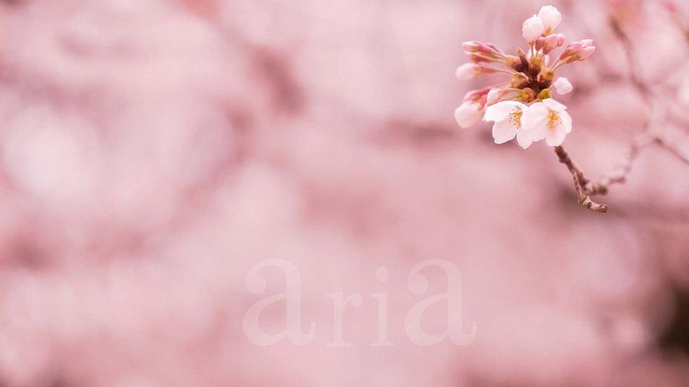 sakura-shinjukugyoen160330_1920hdのコピー.jp