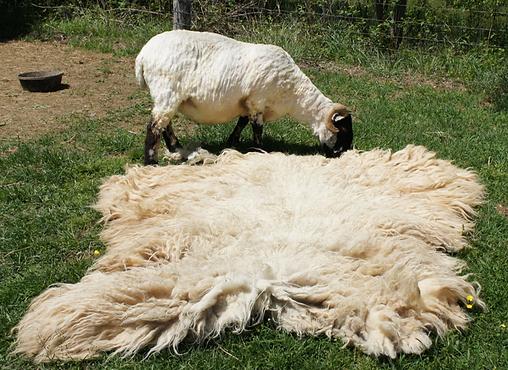 Shorn Sheep with Fleece