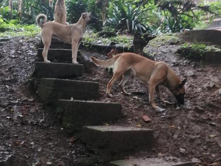 """GMSacha Inchi Belgium Malinois Shepard """"Thea and Ira"""" start training for working dogs"""
