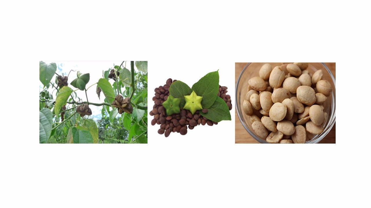 Inca Seeds Star