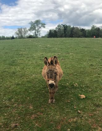Resident Donkey