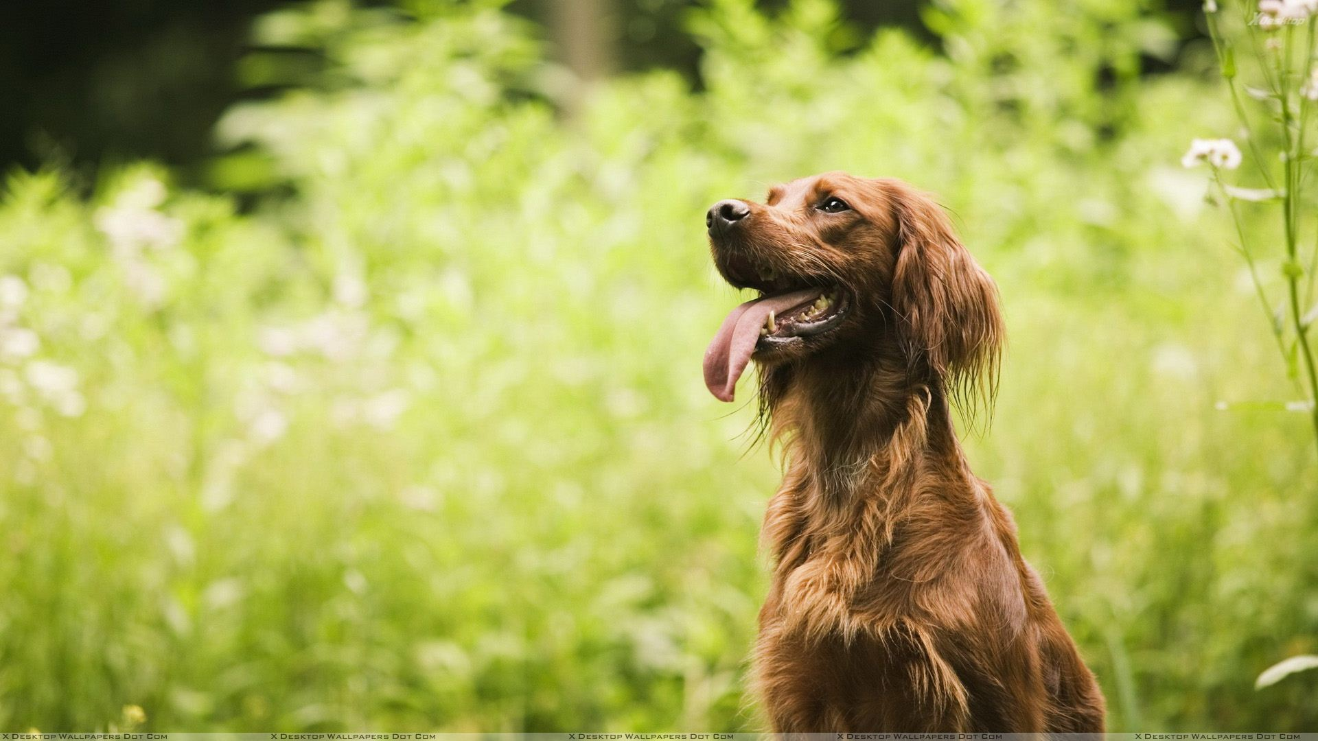 Brown Dog In Garden