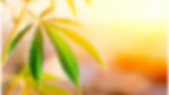 Sunlight on Cannabis leaf.png