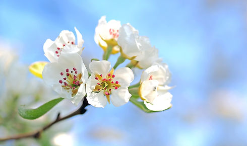 apple-blossoms-1368187_1920.jpg