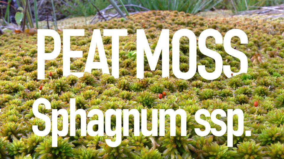 Sphagnum Moss, close-up