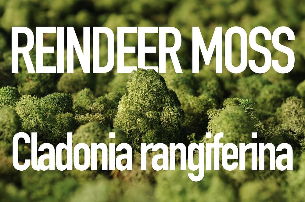 Reindeer Moss close-up