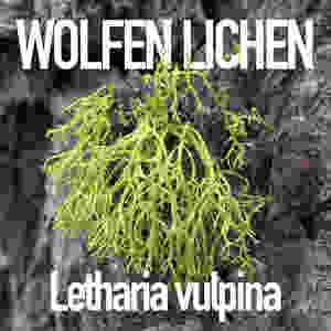 Wolfen Lichen, close-up
