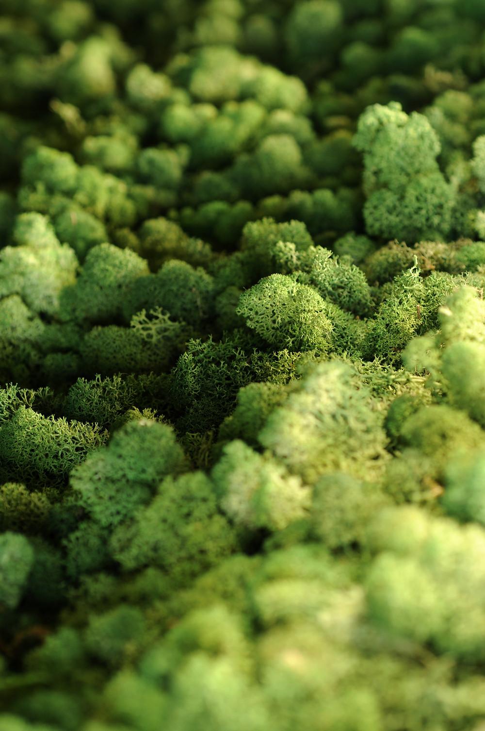 Reindeer Moss, Close-up