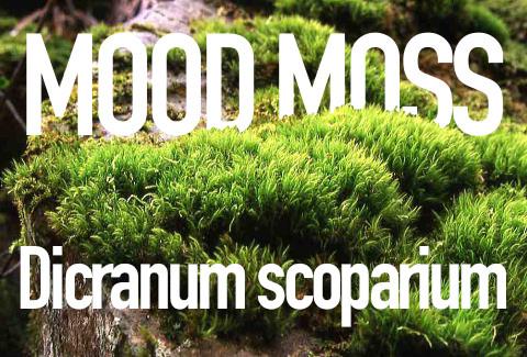 Mood Moss, Dicranium scoparium
