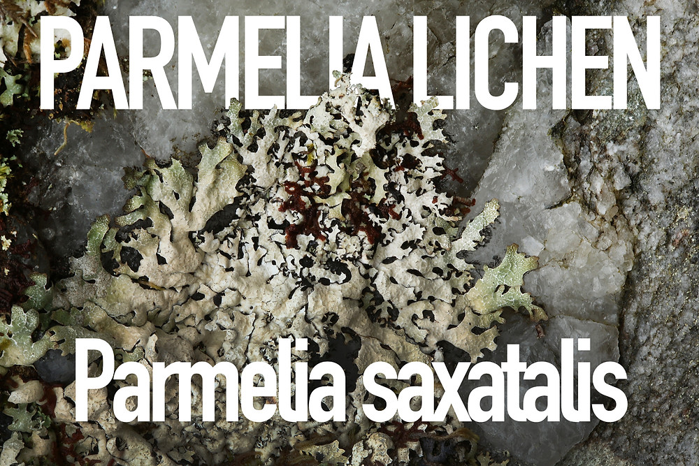 Parmelia Lichen, close-up