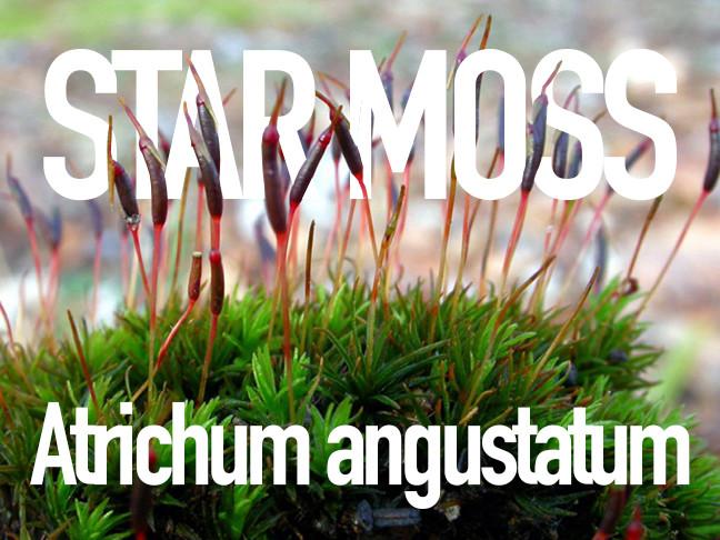 Star Moss, close-up