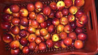 Nectarines Greek Origin