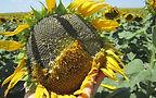 Sunflower Kernel