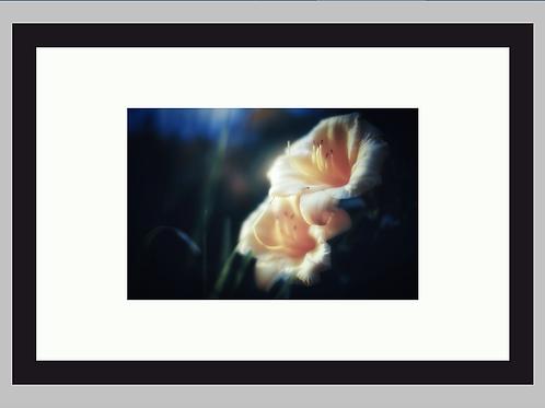 Sun Lilies