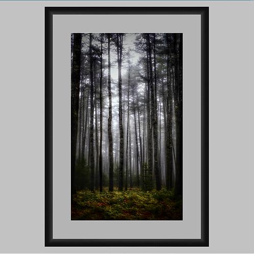 *Special Edition Framed Tall Dark Pines