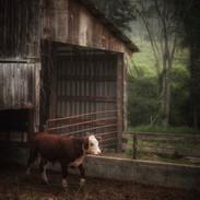 The Joys Of A Calf
