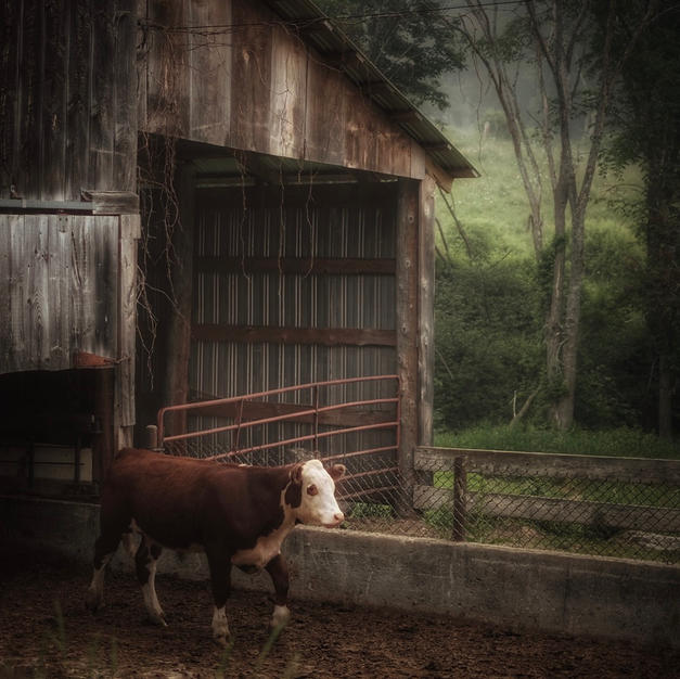 """The Joys Of A Calf"""