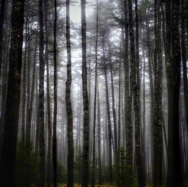 """""""Tall Dark Pines"""""""