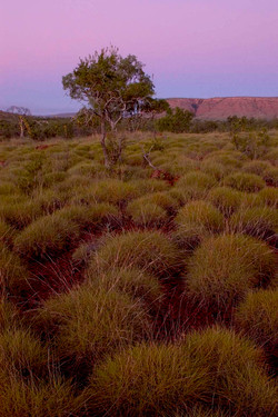 Pink Spinifex.jpg