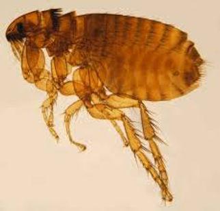 flea.jpg