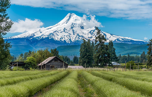 Lavender Valley in Hood River with Mt Ho