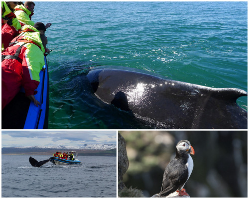 Whale watching and puffin island