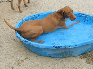 Dog in pool at dog park in Penn Valley