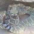 rattlesnake image