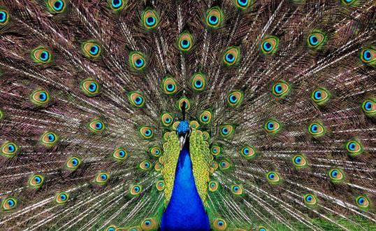 Peacock displays