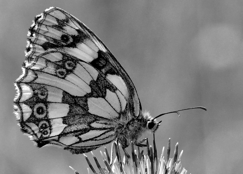 Marbled white in black and white