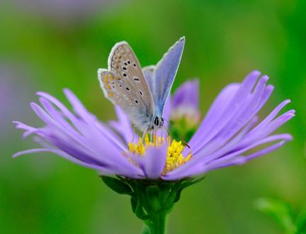 Comon blue butterfly on flower