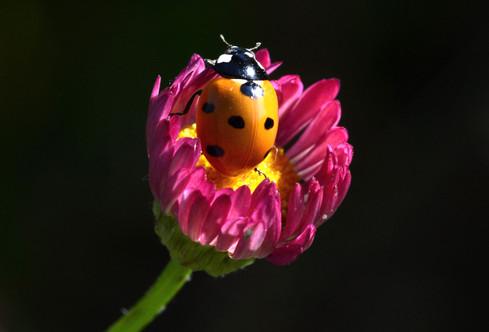 Ladybird on petals