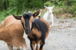 Wheezy and the goats