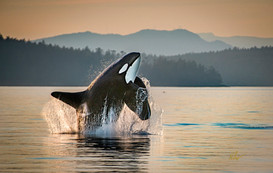 Souther Resident Killer Whales
