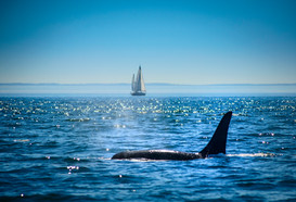 Sailing with Whales