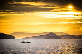 Orca in San Juan Channel