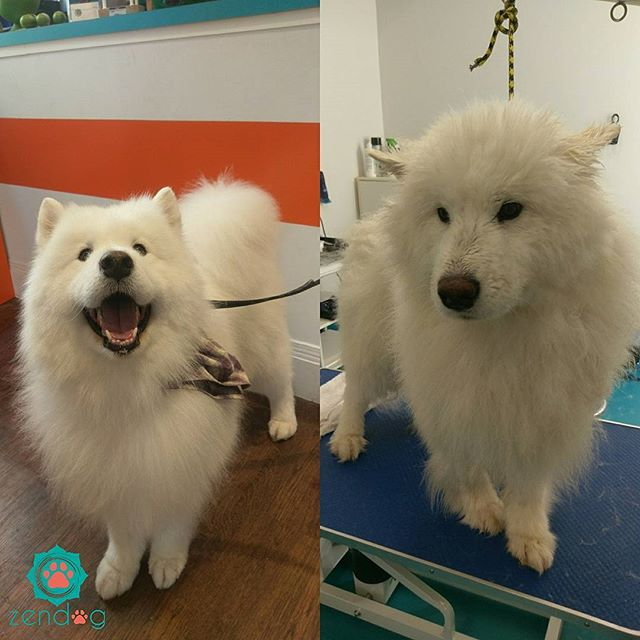 Kenji the champ came by to freshen up and get groomed. What a beauty! 💙❤💙 www.zendogservices