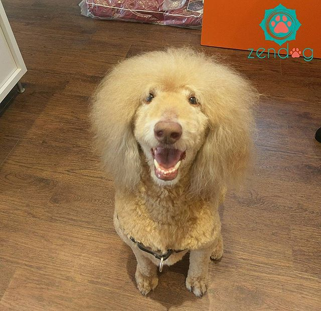 When Maggie May stops by for grooming she surely gets mega fluff boost _) www.zendogservices