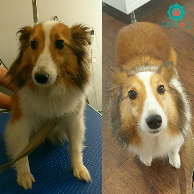 Maya looking fresh after coming in for grooming. She's so adorable! _For booking please email us at