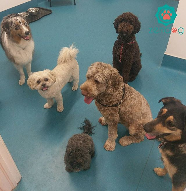 We hope everyone enjoyed their Monday as much as we did with this gang 💙❤💙 www.zendogservices